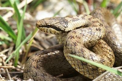 Les Serpent, comment les reconnaître ? Réponse CoronellaAustriaca3