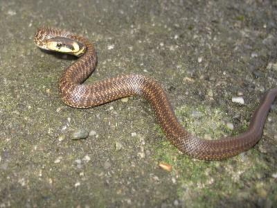 Les Serpent, comment les reconnaître ? Réponse ElapheLongissima3