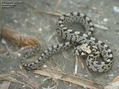 Les Serpent, comment les reconnaître ? Réponse ElapheScalaris3