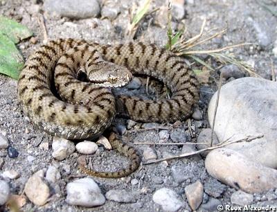 Les Serpent comment les reconnaître ?  ViperaAspis5