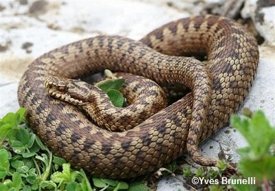 Les Serpent comment les reconnaître ?  ViperaBerus1