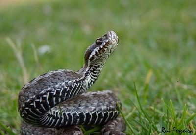 Les Serpent comment les reconnaître ?  Viperaseonei3