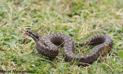 Les Serpent comment les reconnaître ?  Viperaseonei5