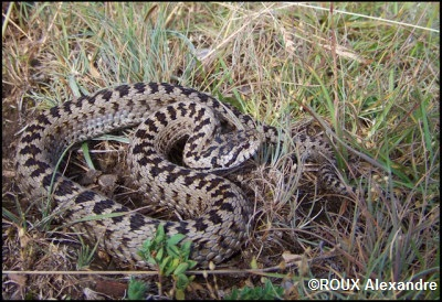 Les Serpent comment les reconnaître ?  Viperaursinii1